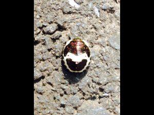 絵本に出てくる、大きく口を開けた子供のような模様をした昆虫を玄関先でみつけました。