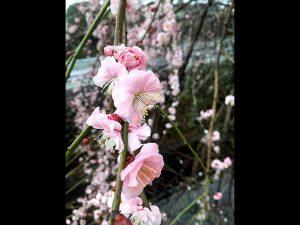 1月末より咲き始めた近所の梅が見ごろを迎えました。