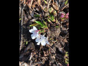 近所の桜が根元だけ咲いていました。