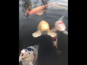 近所の公園の池には鯉がいます。