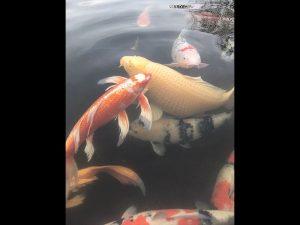 ここの鯉は警戒心が無く、人が近づくと直ぐに寄ってきます