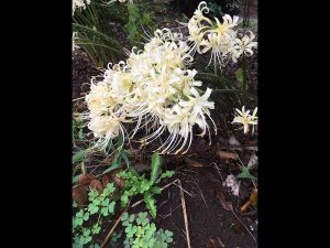 季節を知らせる花に彼岸花があります